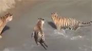 老虎追赶鸭子结局竟这样