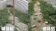 熊孩子踩烂农户9千斤瓜