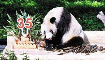"""动物园为大熊猫""""新星""""举办35岁生日会"""