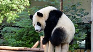 大熊猫练站立 憨态可掬