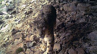 祁连山青海境内拍到251次雪豹