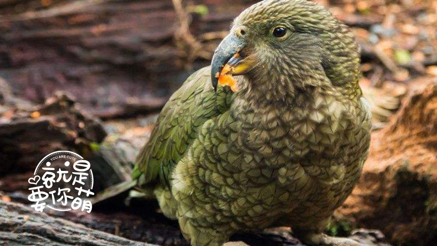 【就是要你萌】鸮鹦鹉:淡定的重量级选手