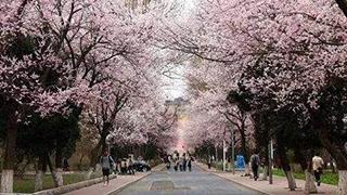 武汉大学樱花初绽