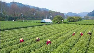西湖龙井茶全面开采
