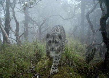 卧龙首次拍到雪豹现身大熊猫栖息地