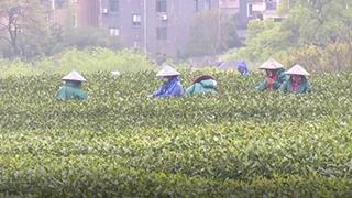 倒春寒影响明前茶采摘