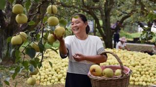 砀山酥梨迎来采摘季